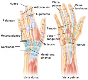 Anterior and posterior view of the anatomy of the hand SOURCE: pickup from 5A1443 and 4A1443